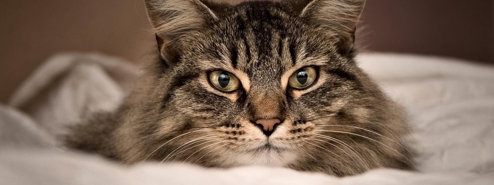 Boules De Poil Chez Le Chat Symptomes Et Prevention