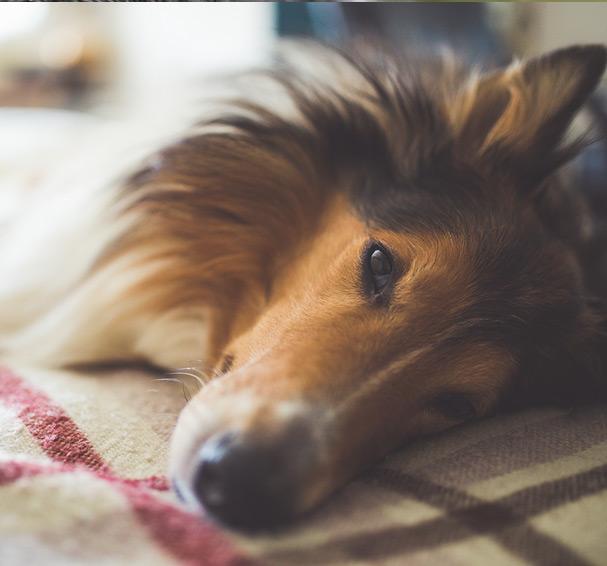 Les convulsions chez le chien 2