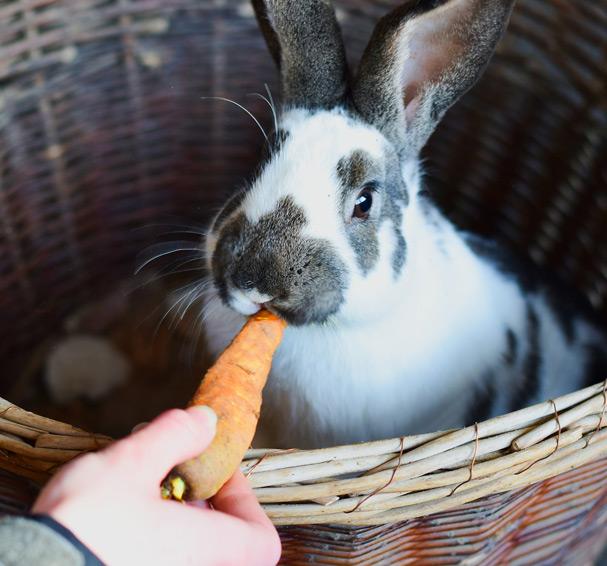 Les particularités du transit digestif chez le lapin 1