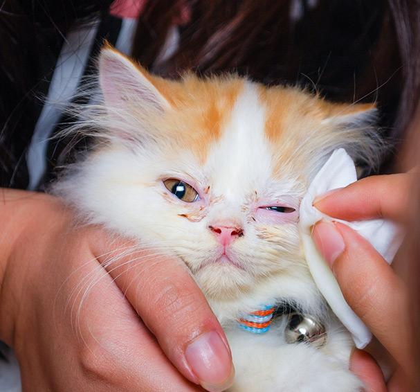 Hygiène et soins des yeux chez le chat 2