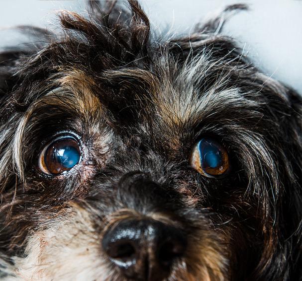 Les principaux problèmes ophtalmologiques du chien 1