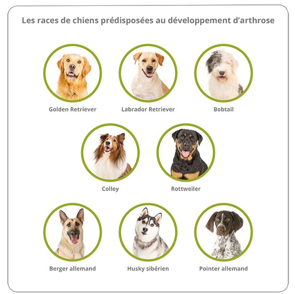 Les races de chiens prédisposées à l'arthrose 1