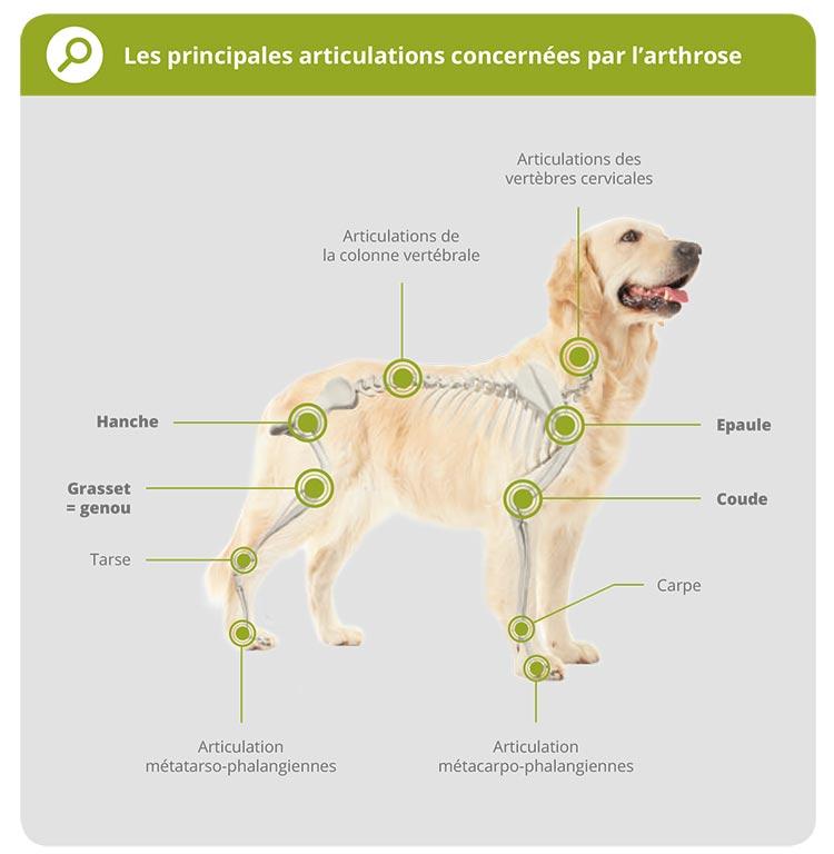 L'arthrose chez le chien 2